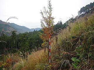 大きく育った苗木