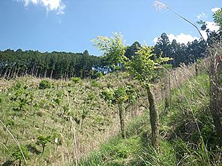 3mを超える苗木も